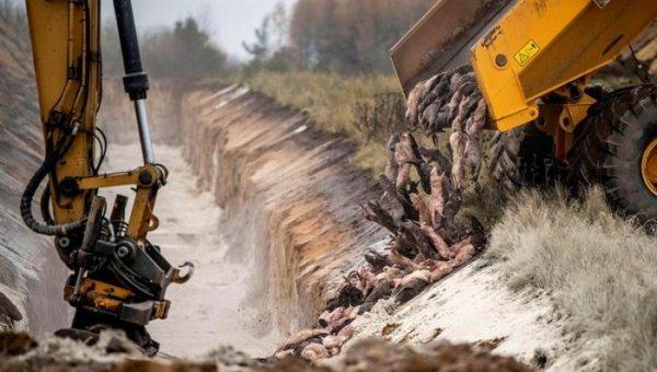 Após a matança de 15 milhões de visons, a Dinamarca considera a mutação de covid-19 extinta